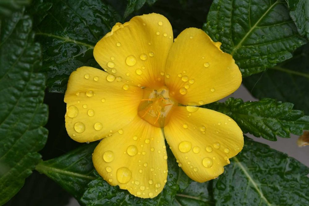 Damiana-Pflanze