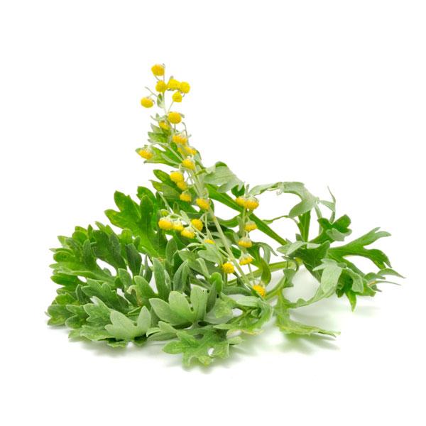 Wermutkraut mit Blüte