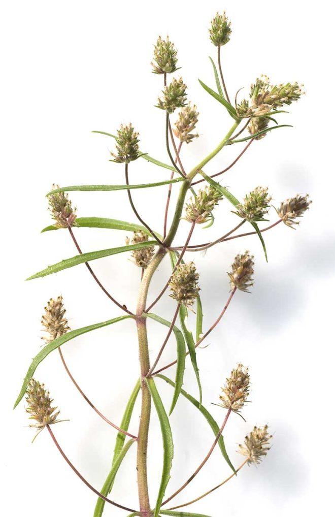 Flohsamen-Pflanze