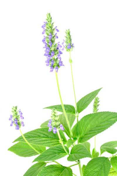 Chia-Pflanze