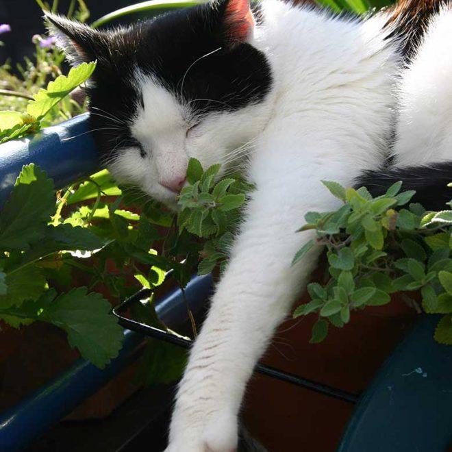 Katzen lieben Katzenminze