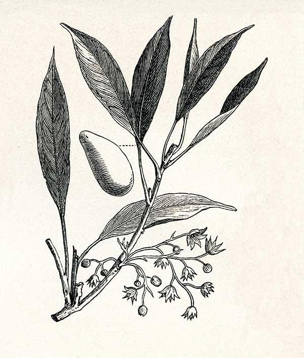 Der Kolanuss-Baum