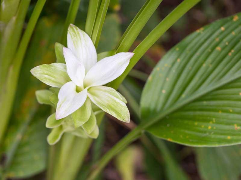 Kurkuma-Pflanze