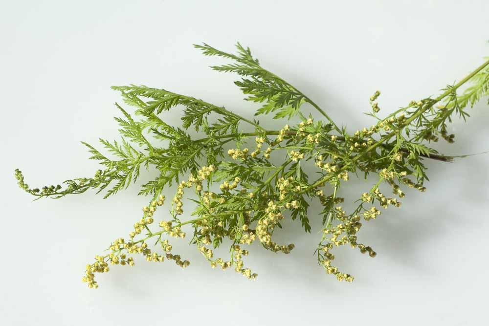 Artemisia annua Zweig [©Ruckszio - stock.adobe.com]