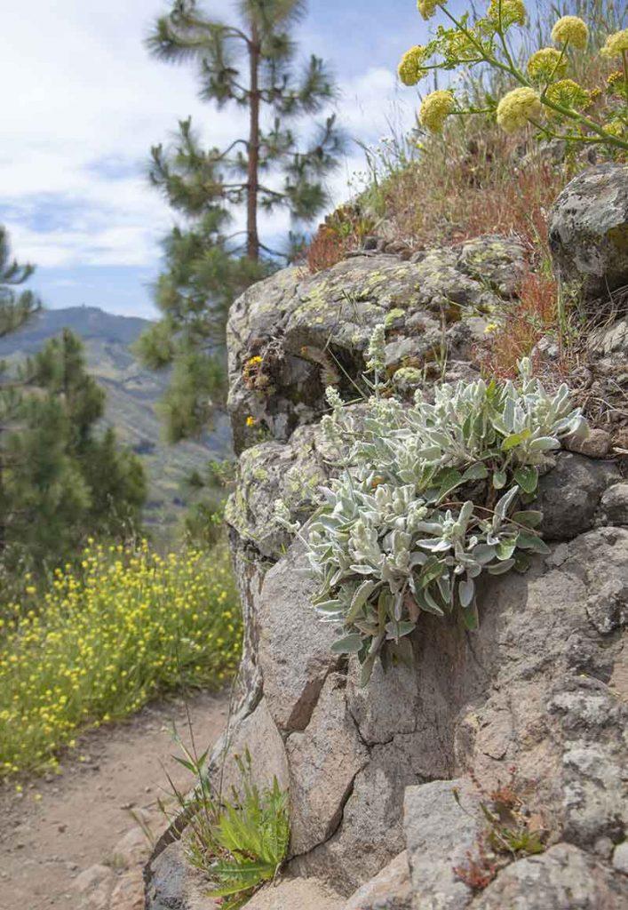 Griechischer Bergtee in den Bergen