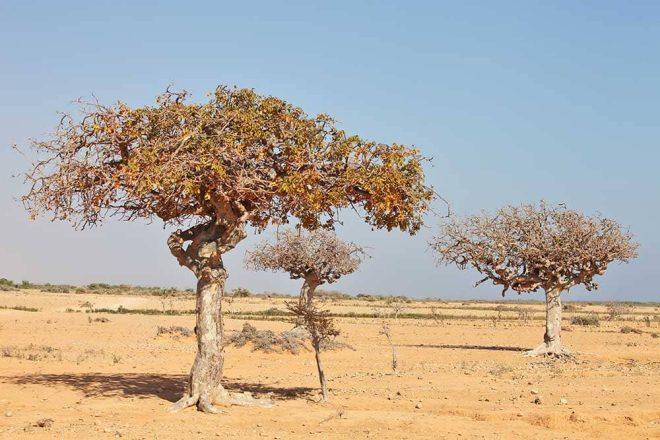 Myrrhenbaum, Arzneipflanze des Jahres 2021